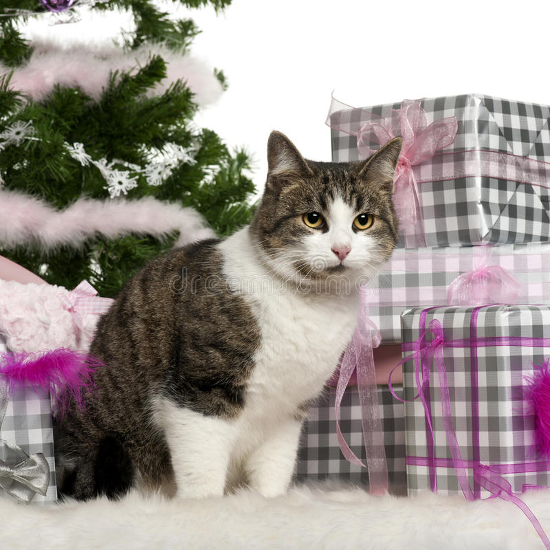 Download European Shorthair, 3 Years Old, Sitting Royalty Free Stock Photography - Image: 22629707