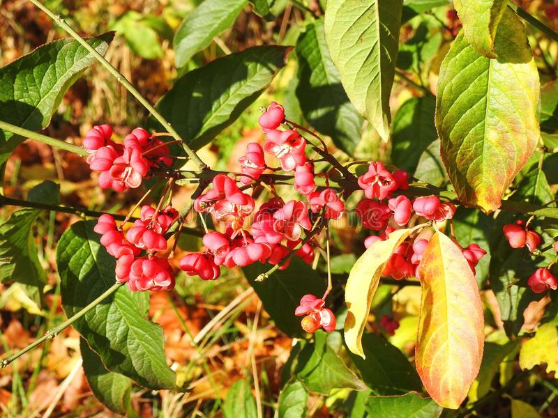 Spindle tree in autumn, Lithuania. European spindle tree with flowers in autumn, Lithuania stock photo