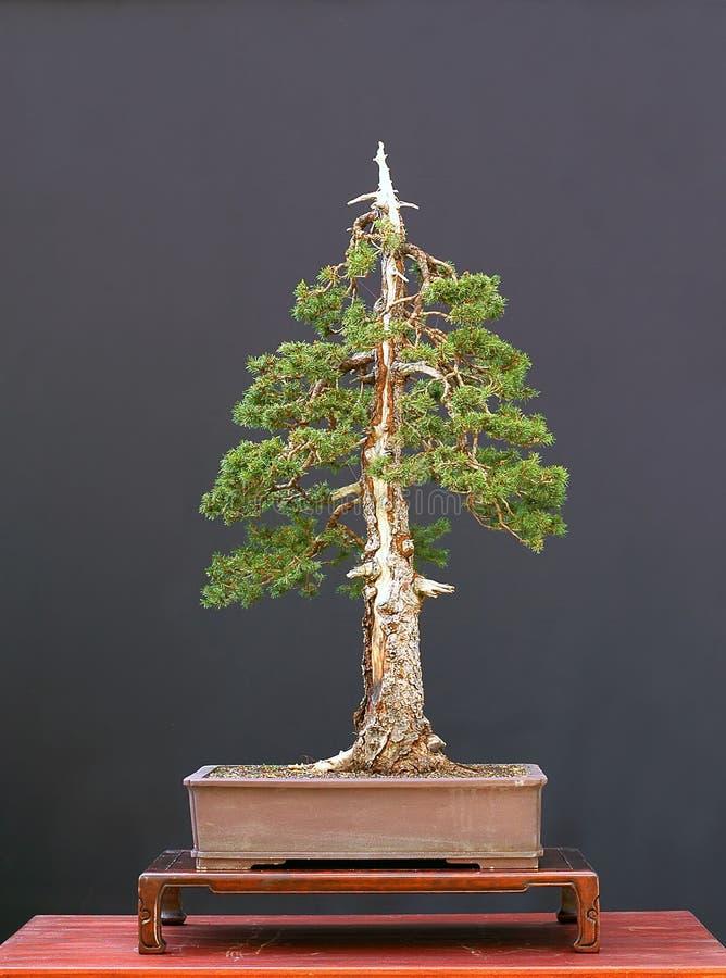 European spruce bonsai royalty free stock image