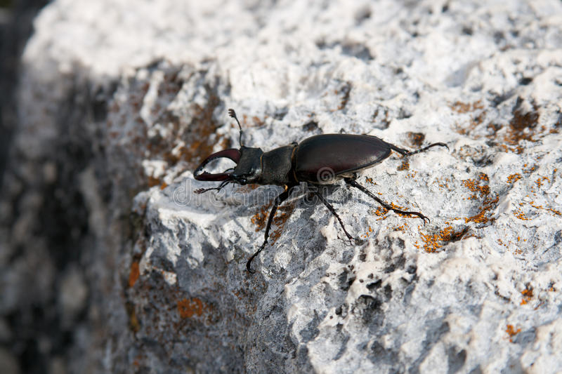 European Stag Beetle Royalty Free Stock Images