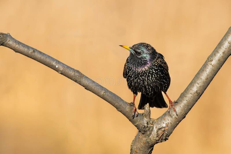 Download European Starling stock image. Image of birdwatching - 113182279