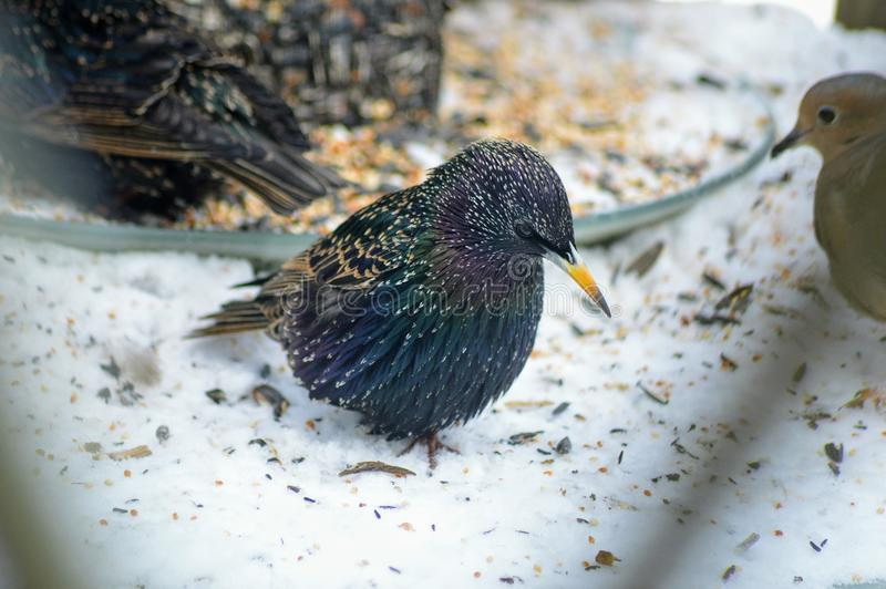 European Starling royalty free stock photography