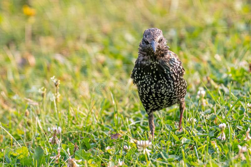 A European Starling looking for food in grass. Common starling sturnus vulgaris sitting in grass. Selective focus stock photo