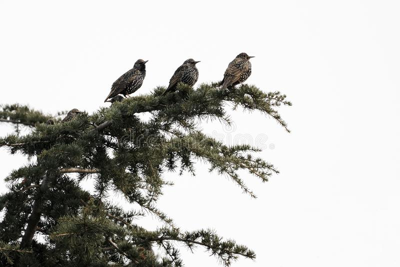 European Starling Sturnus vulgaris. A group of European Starling Sturnus vulgaris perched on the branches of a tree royalty free stock photo