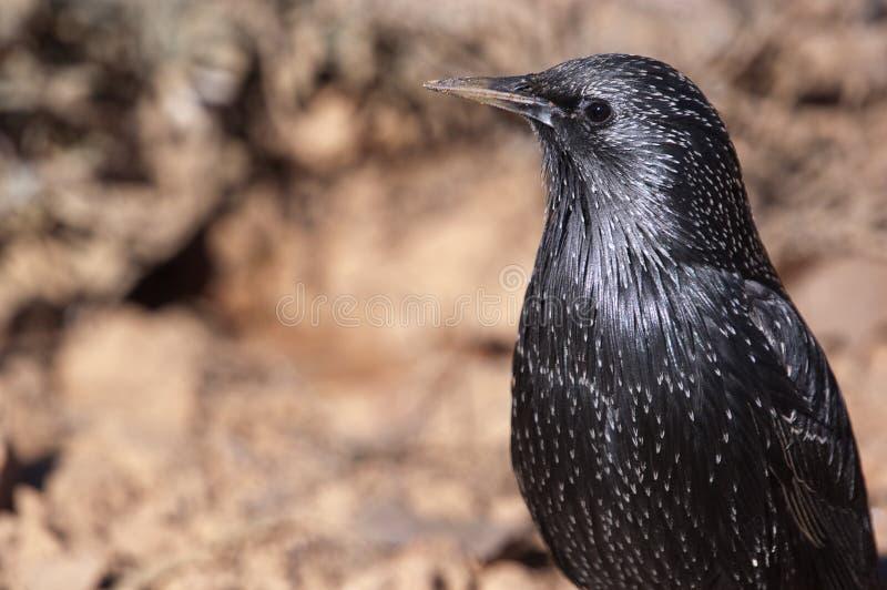 European starling - Sturnus vulgaris. In its habitat royalty free stock images