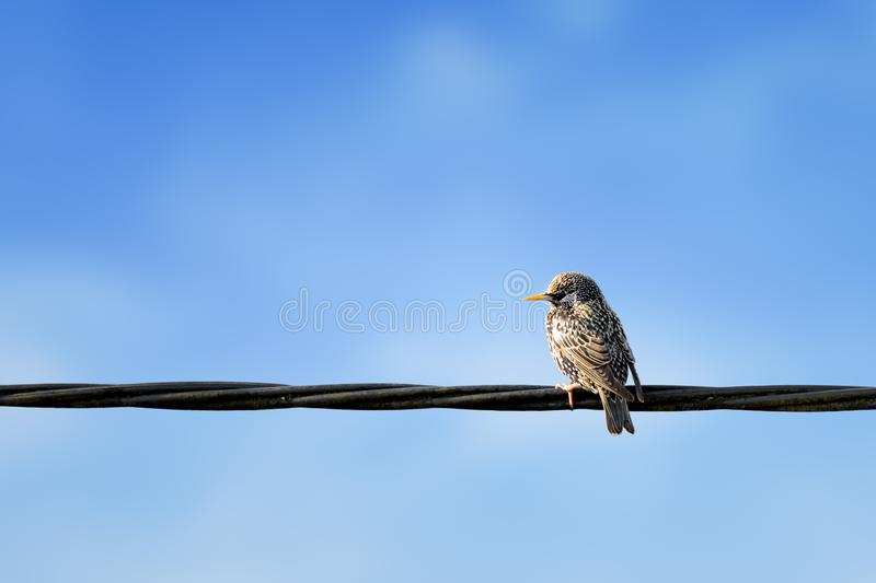 European Starling, Sturnus vulgaris sitting on power supply line with blue background.  royalty free stock photography