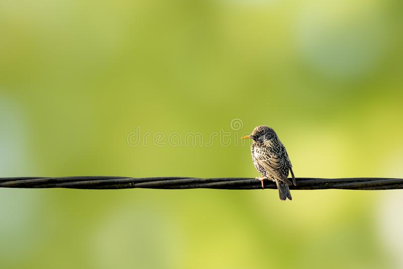 European Starling, Sturnus vulgaris sitting on power supply line with green background.  royalty free stock photos