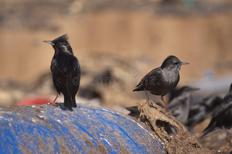 European starling - Sturnus vulgaris in a trash. Can with plastics stock image