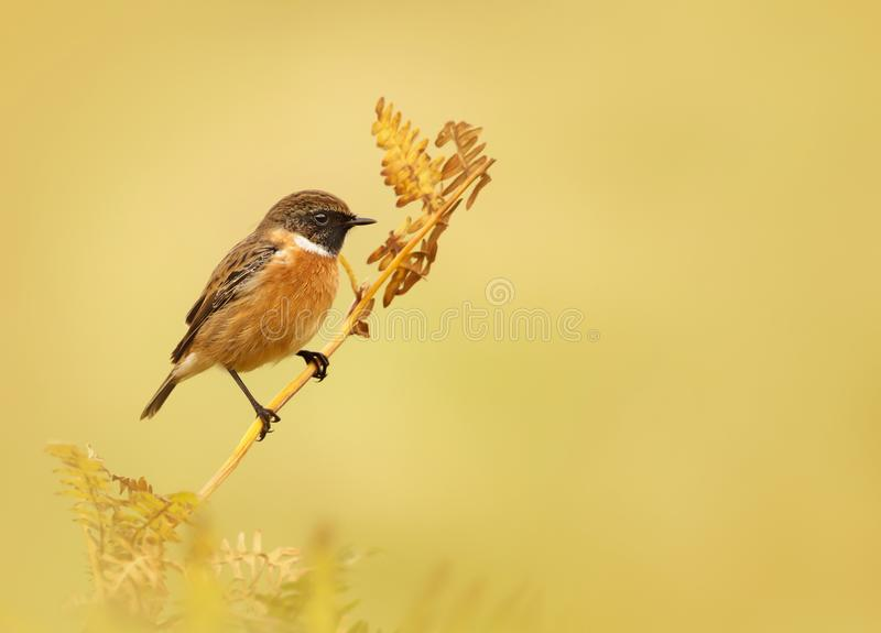 Download European Stonechat Perching On A Fern Branch Stock Image - Image of oxen, european: 104658077