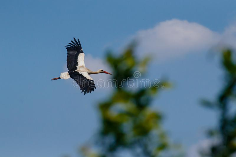 Flight of the White Stork stock photography