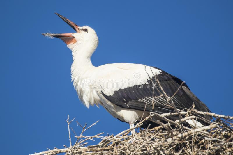 White Stork on nest feeding young. European stork sitting on nest in Romania eating royalty free stock images