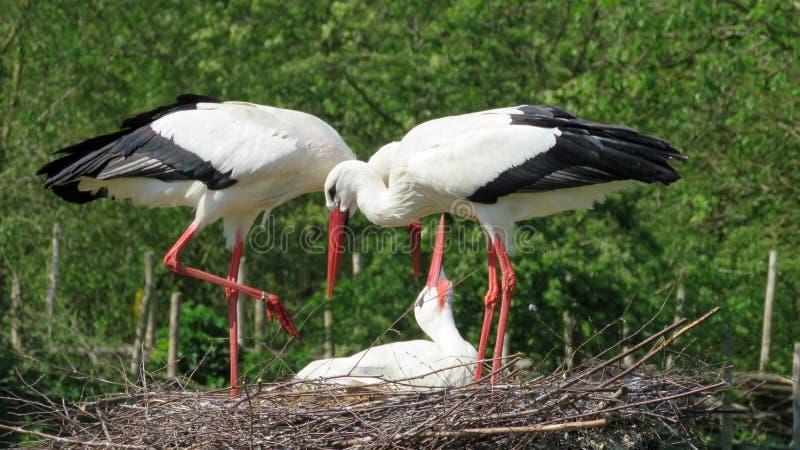 European storks on nest stock image