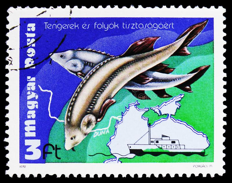 European Sturgeon (Huso huso), Environment Protection serie, circa 1979. MOSCOW, RUSSIA - FEBRUARY 9, 2019: A stamp printed in Hungary shows European Sturgeon ( royalty free stock photo