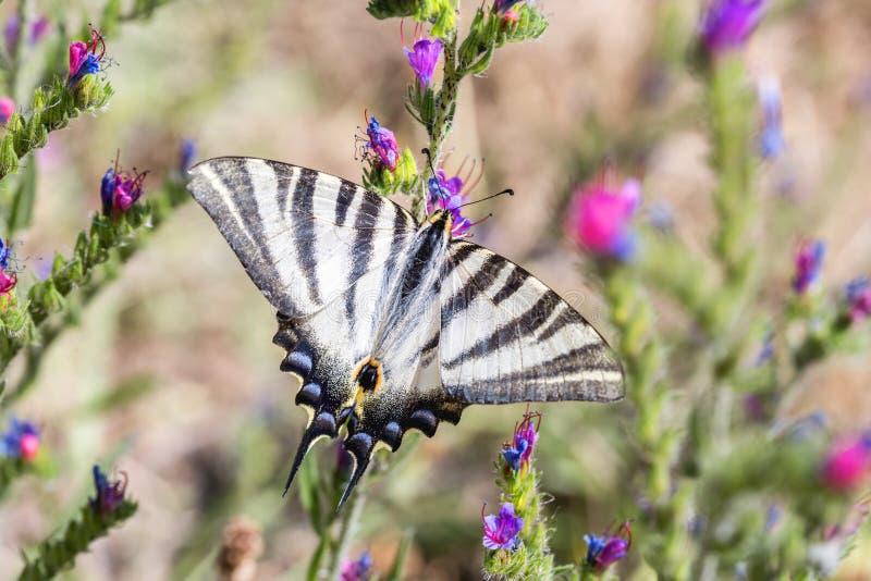 European Swallowtail butterfly Papilio machaon. European Swallowtail butterfly Papilio machaon stock image