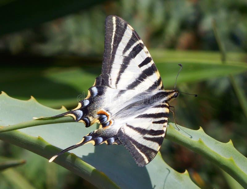 European Swallowtail butterfly Papilio machaon royalty free stock photos