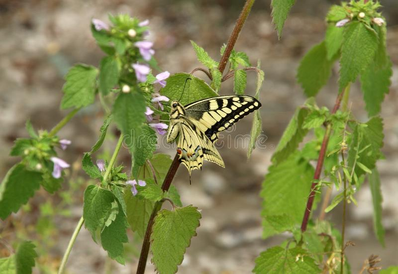European swallowtail on ground ivy flower royalty free stock images