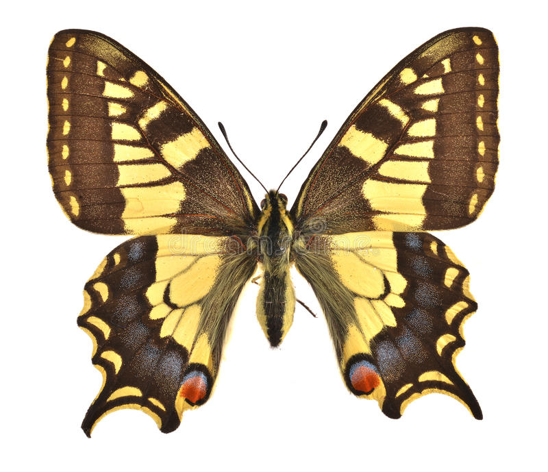 The European Swallowtail stock images