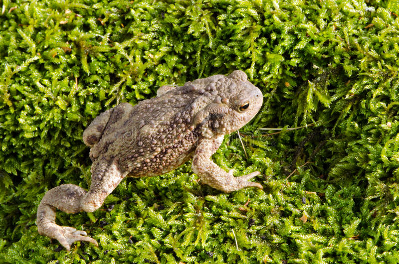 Download European toad on moss stock image. Image of close, animal - 27272541