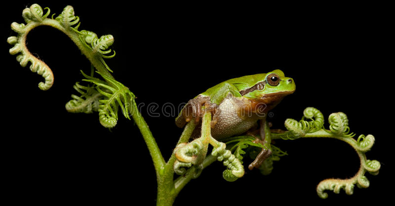 European Tree Frog Crawling At Night Royalty Free Stock Photos