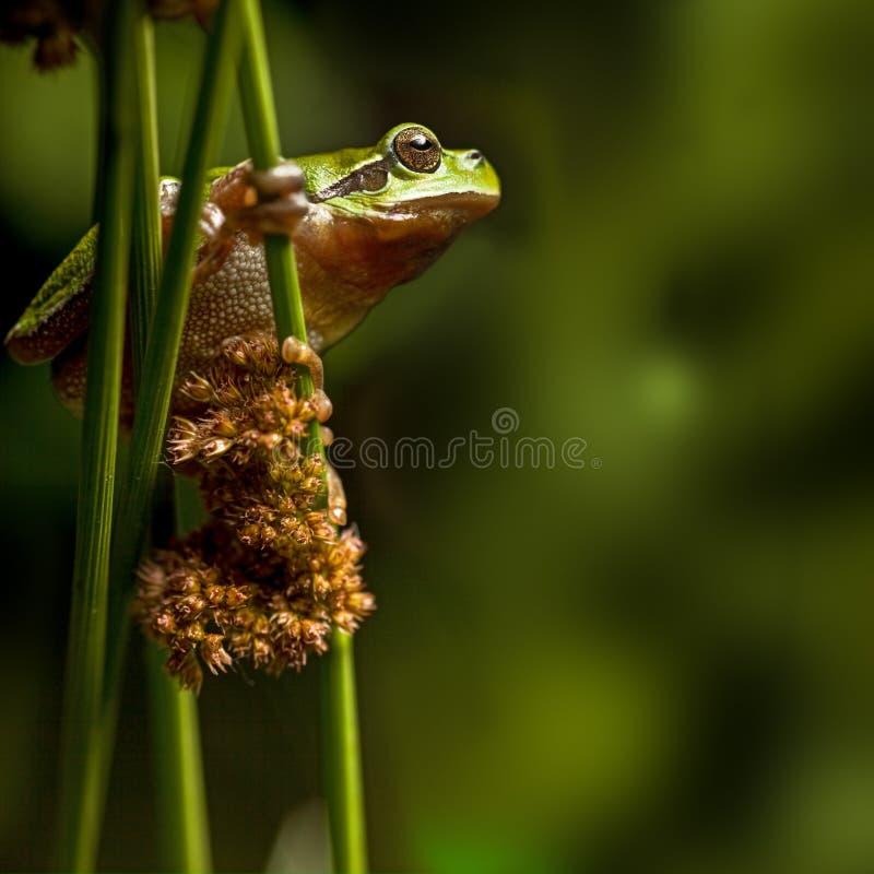 Download European Tree Frog Crawling At Night Stock Photo - Image of treefrog, amphibian: 25432436