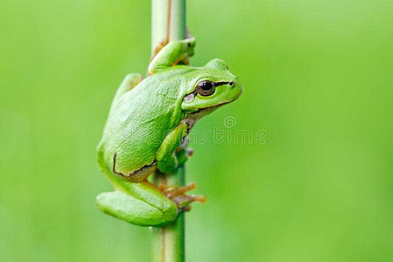 European tree frog, Hyla arborea, sitting on grass straw with clear green background. Nice green amphibian in nature habitat. Wild royalty free stock photography