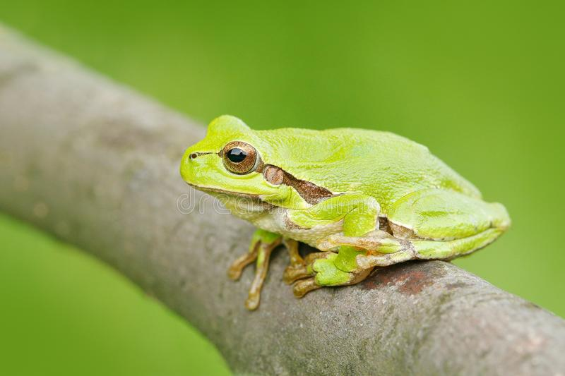 Green Tree frog, Hyla arborea, sitting on grass straw with clear green background. Nice green amphibian in nature habitat. Wild Eu. European tree frog, Hyla stock photography