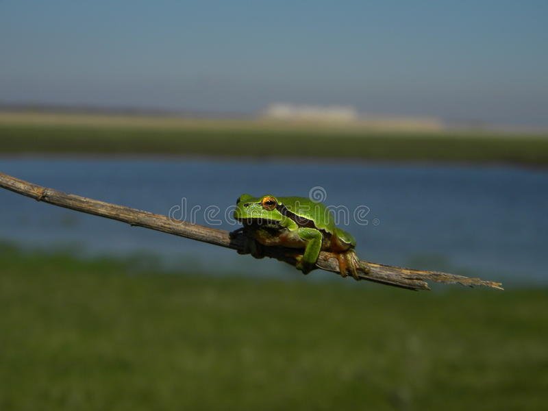 Tree frog near a water royalty free stock images