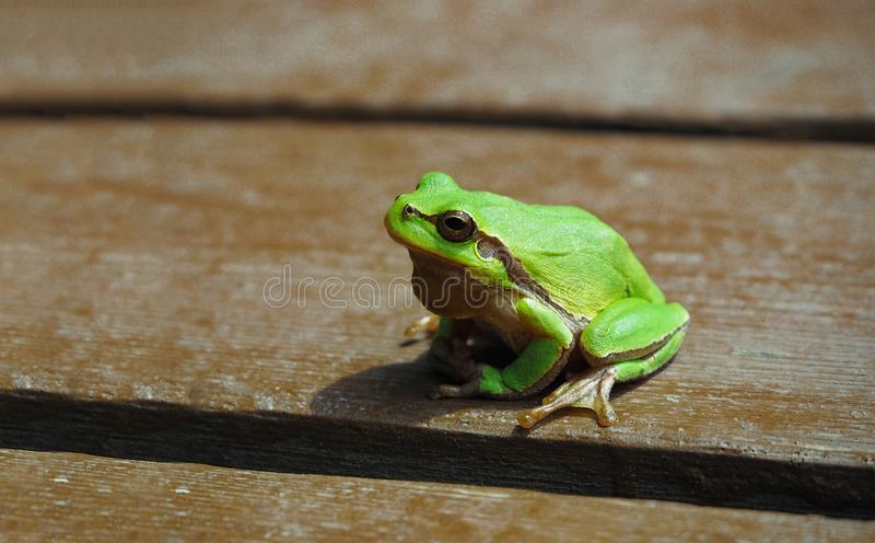 European tree frog at wooden background. Small European tree frog at wooden background. Green amphibian royalty free stock image