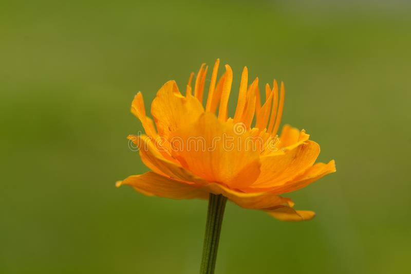 Trollius Flower on Green. A European troll flower is portrayed on a blurred meadow background royalty free stock photos