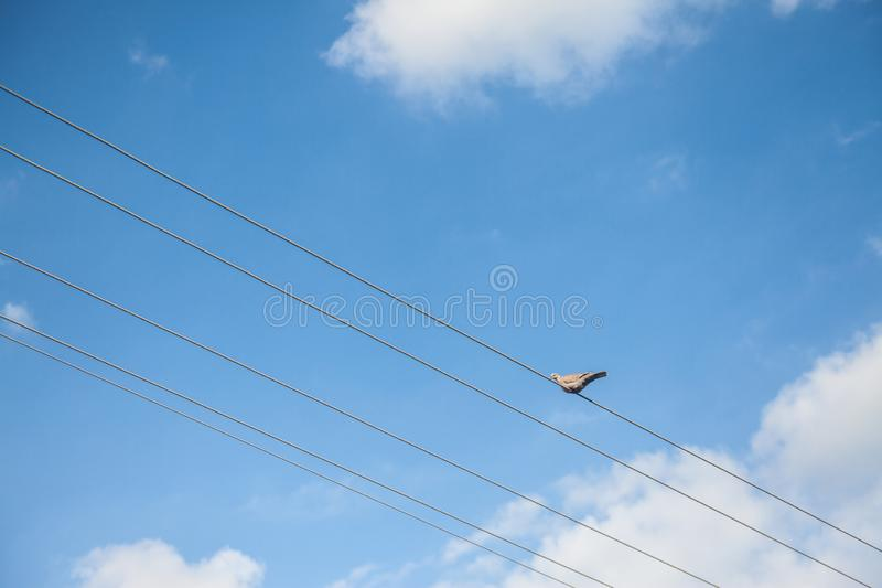 European Turtle Dove, also called streptopelia turtur, sitting and standing on an electrical powerline cable stock photo