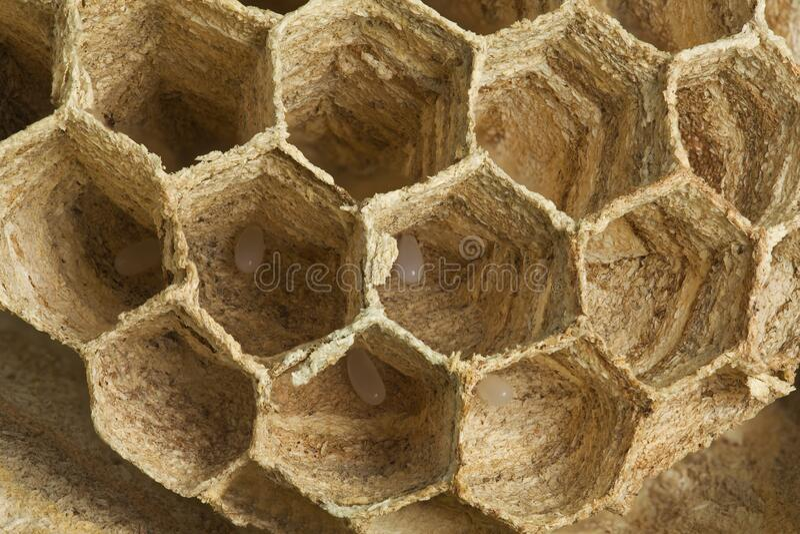 European Wasp Eggs stock photo