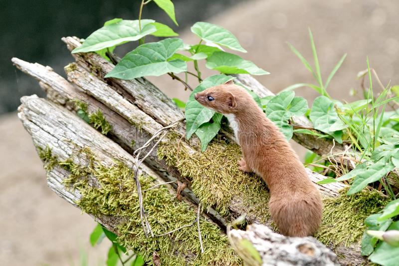 Weasel royalty free stock photo