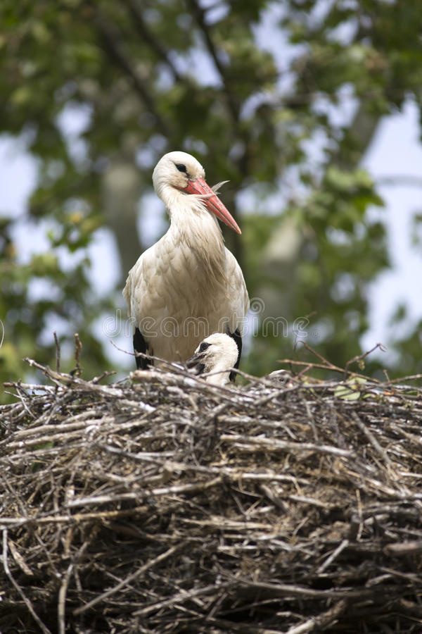 European white stork with chicks in its nest. European white stork with chicks royalty free stock image