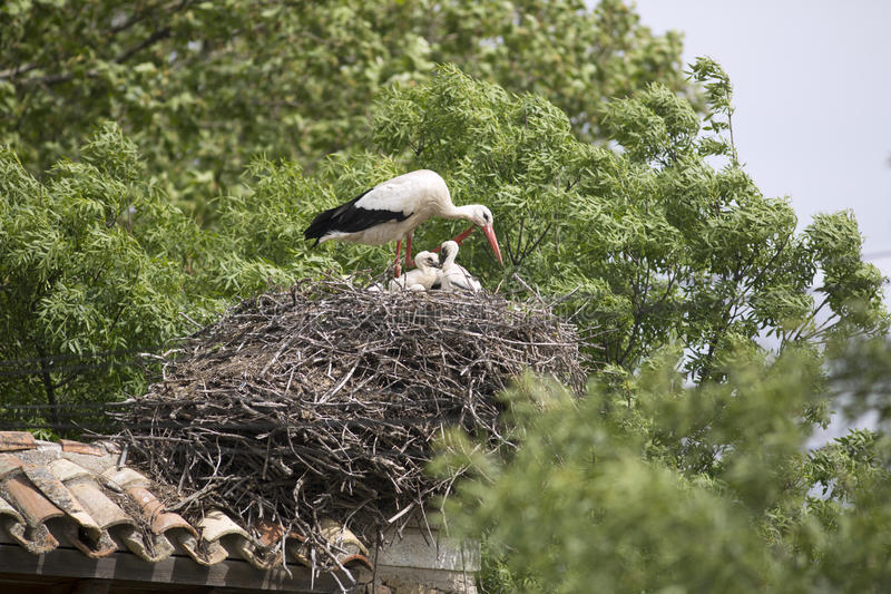 European white stork with chicks in its nest. European white stork with chicks royalty free stock images