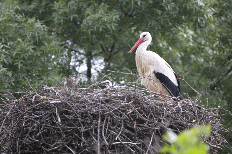 European white stork with chicks. In its nest stock photo
