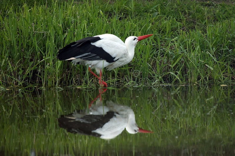 European White Stork Drinking royalty free stock image