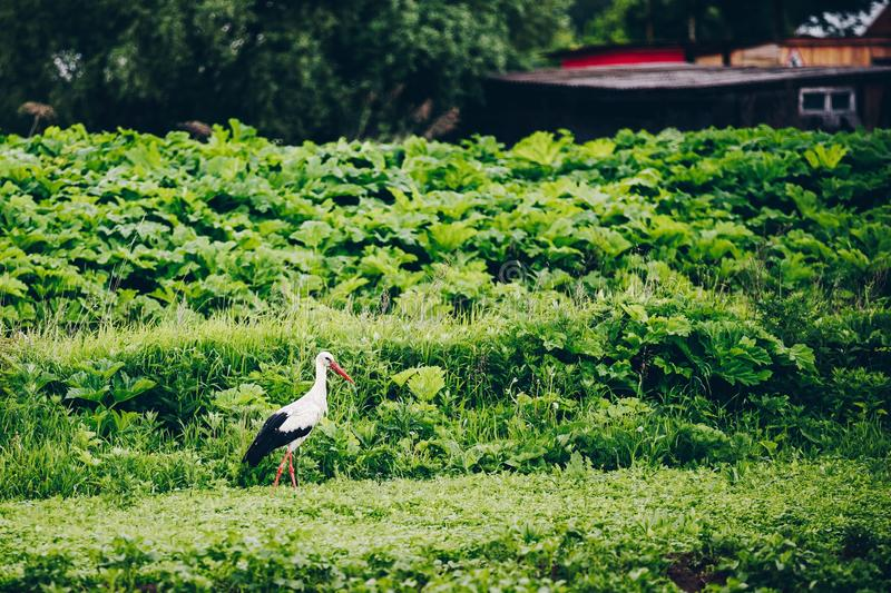 European White Stork in green summer field in Russia royalty free stock image