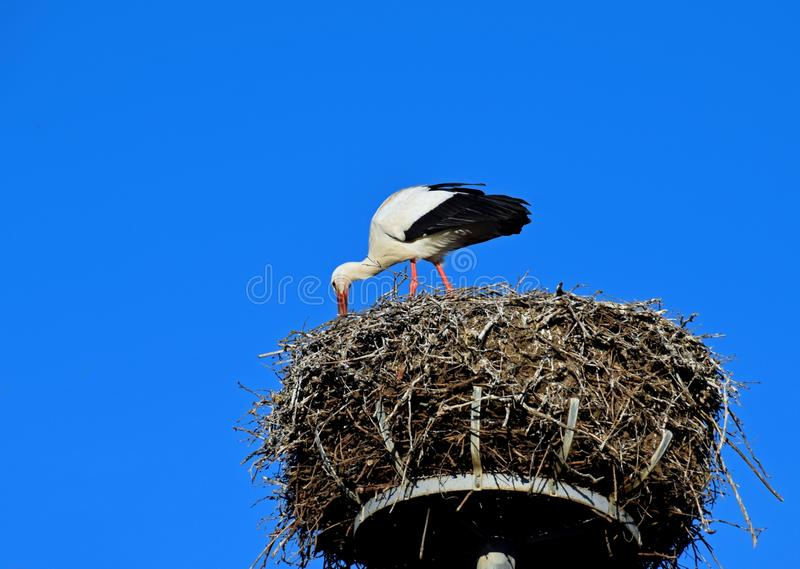 European white stork in the nest stock images
