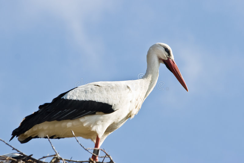 European white stork standing royalty free stock image