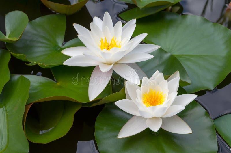 European White Waterlily stock photo