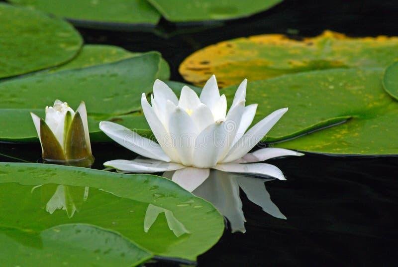 European white waterlily royalty free stock photography