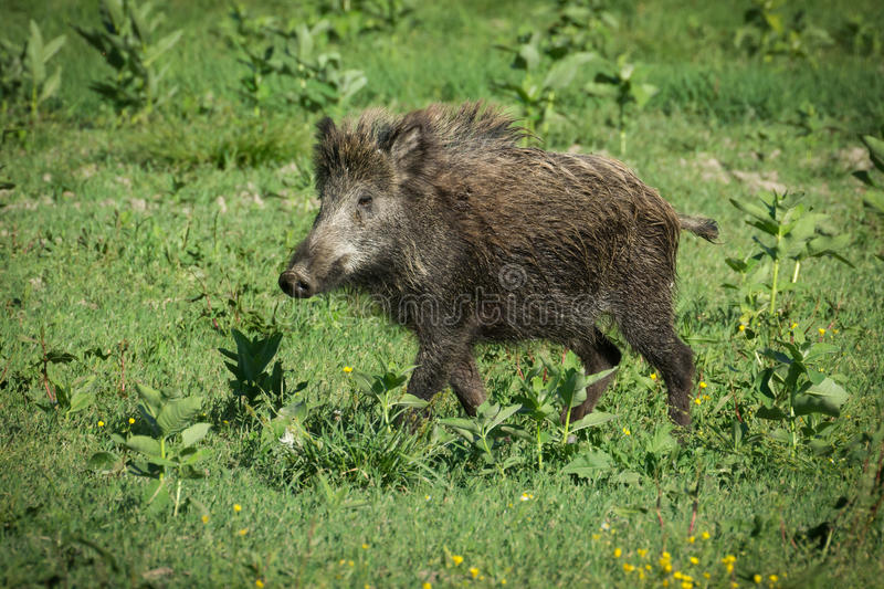 European wild boar royalty free stock photography