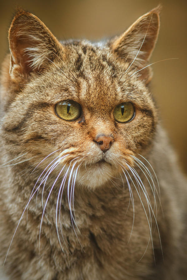 European wild cat in detail stock images