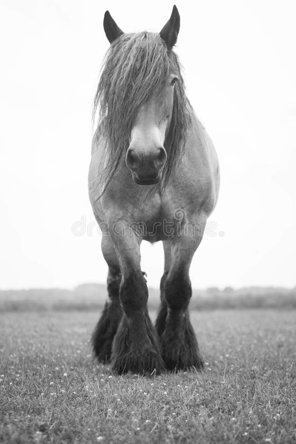 Download european wild horse stock photo image of black color 73651722