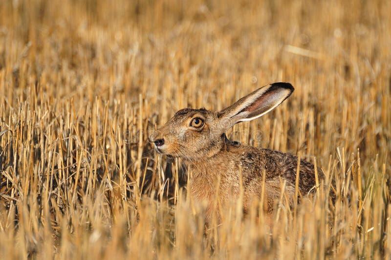 Download European wild rabbit stock image. Image of laying, mammal - 26829723