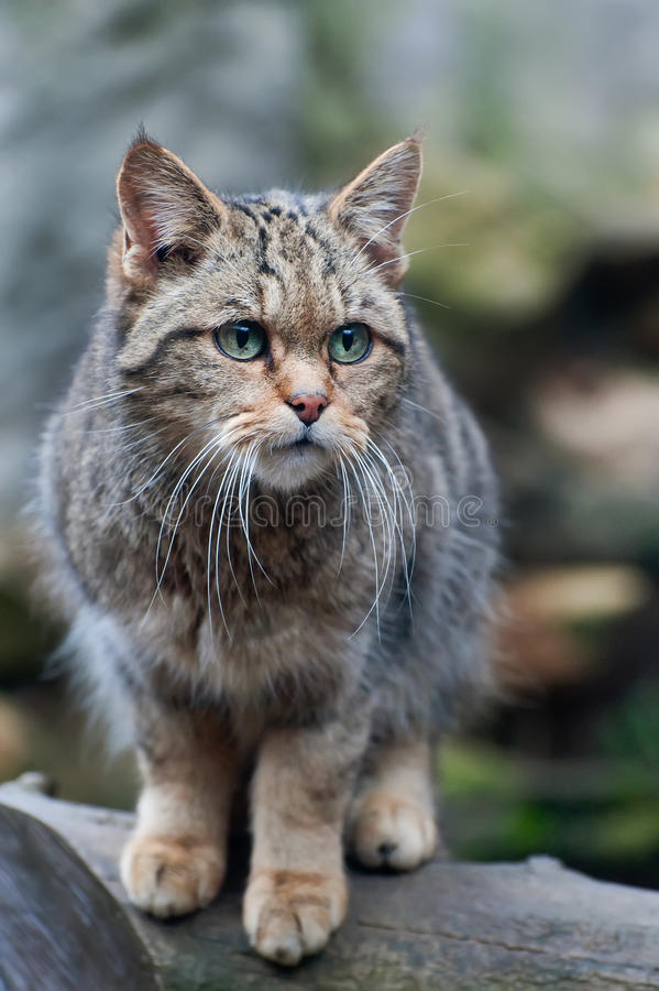 Free European Wildcat Royalty Free Stock Photo - 36753685