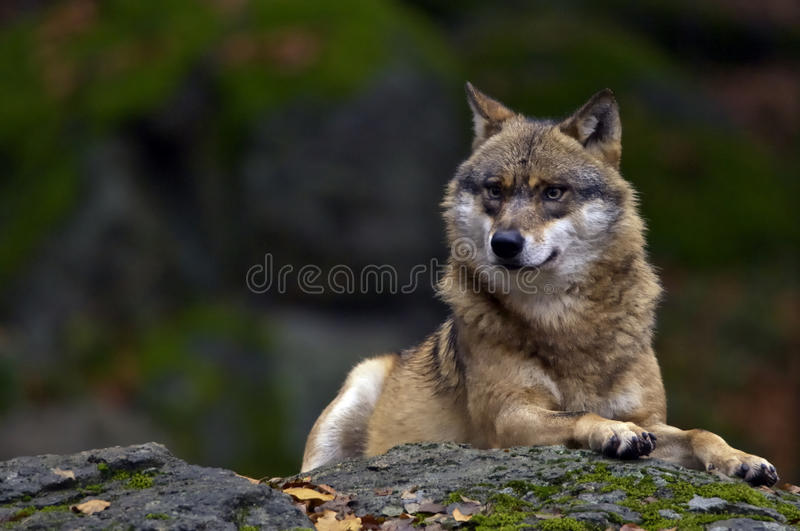 European Wolf Stock Photography