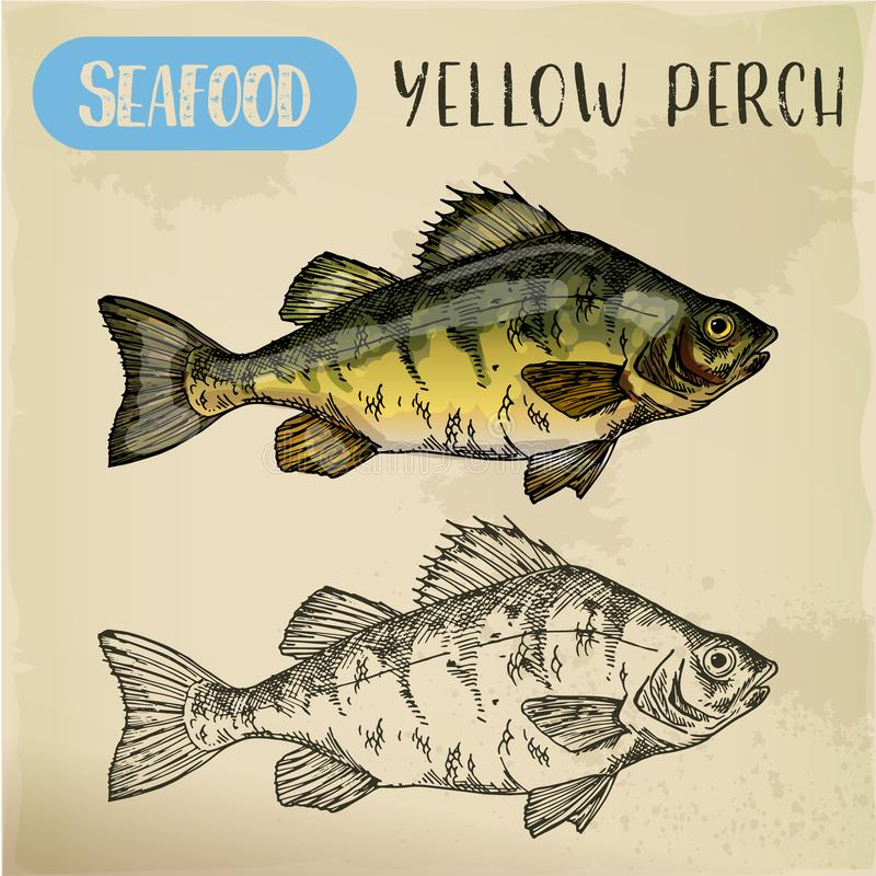 European yellow perch sketch. Fish, seafood royalty free illustration