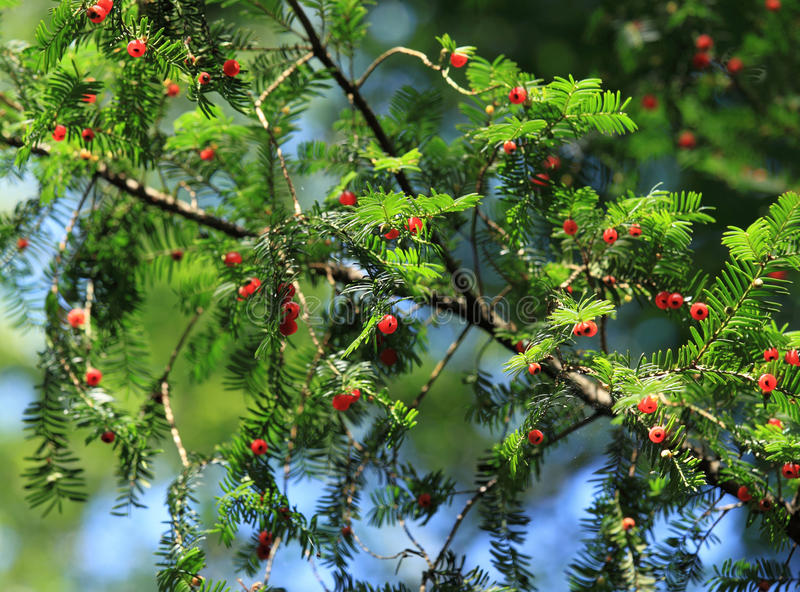 Download European Yew stock image. Image of baccata, plant, natural - 24881991