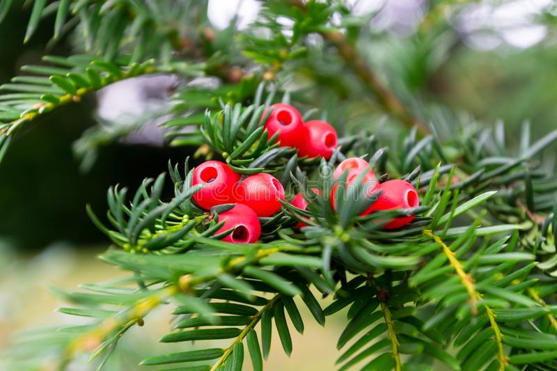 The european yew or taxus baccata tree branch with the red berries stock photography